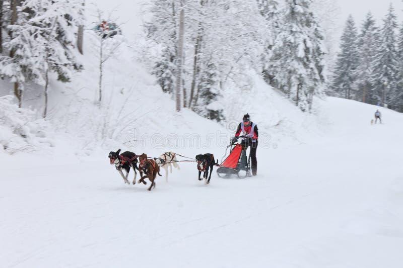 Het Ras van de sleehond, hondteam die op de de winterweg lopen stock foto's