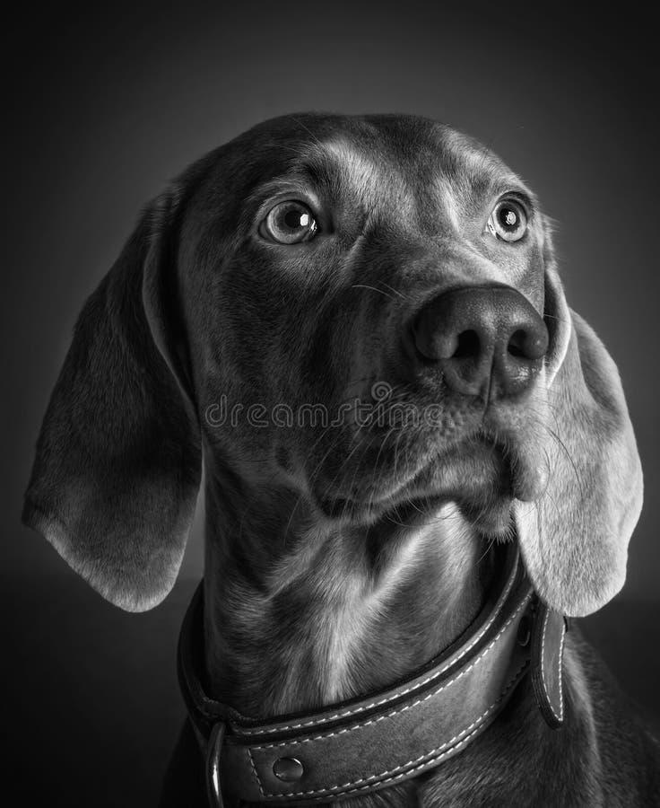 Het ras van de Weimaranerhond stock fotografie