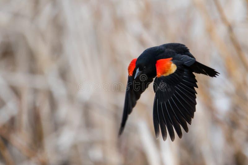 Het Red-winged merel vliegen royalty-vrije stock foto
