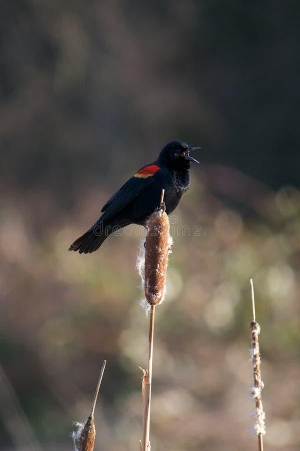 Het Red-winged Zingen van de Merel stock foto's