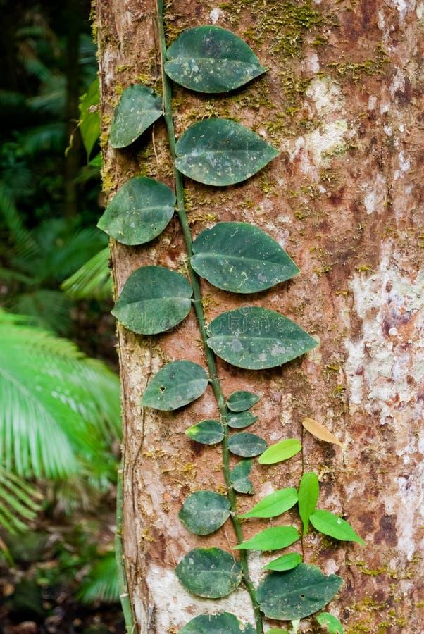 Het regenwoud van de Beproeving van de kaap, Australië stock foto