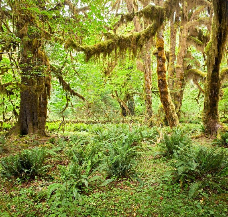 Het Regenwoud van Hoh stock foto