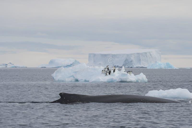 Het registreren van de gebocheldewalvis stock foto's