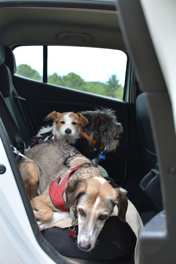Het reizen met honden EEN JACK RUSSELL-PUPPY EN TWEE RASECHTE HUISDIEREN DIE OP EEN AUTO MET VEILIGHEIDSriemen ZITTEN stock afbeelding