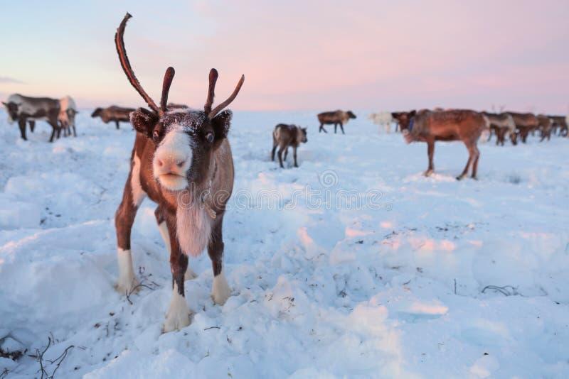 Het rendier in Nenets-rendierherders kampeert royalty-vrije stock afbeeldingen