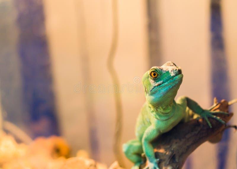 Het reptiel is de Gemeenschappelijke Basiliskzitting op een boom bij een huisdierenopslag stock foto's