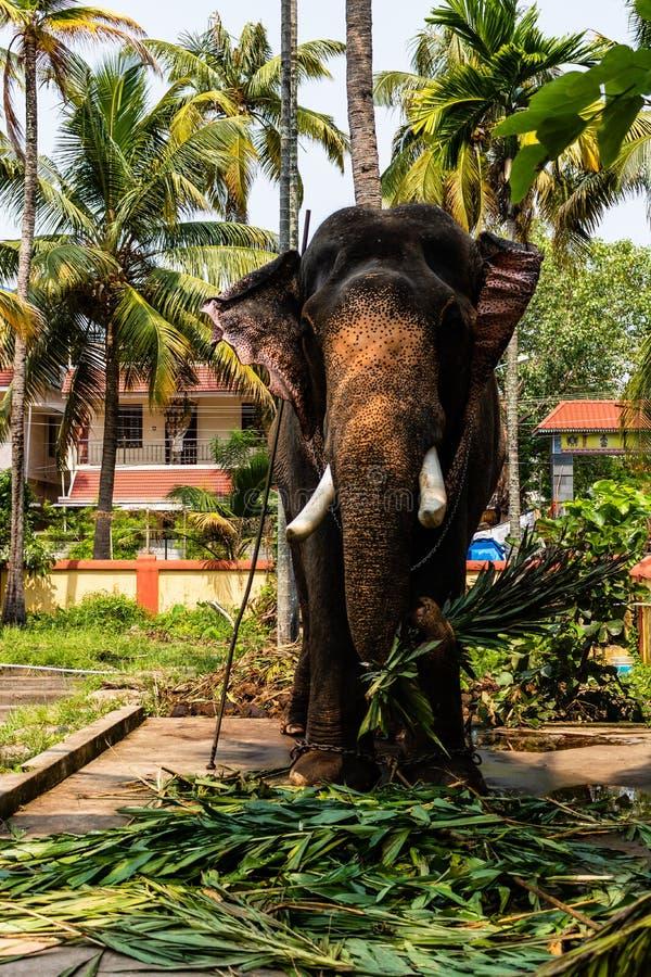 Het reusachtige olifant eten Olifant in kettingen wordt gehouden die royalty-vrije stock afbeeldingen
