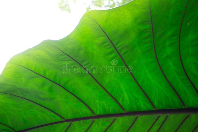 Het reuze groene bladclose-up in het tropische tuin plaatsen herinnert ons eraan om aard en natuurlijke rijkdommen te bewaren en  stock afbeelding