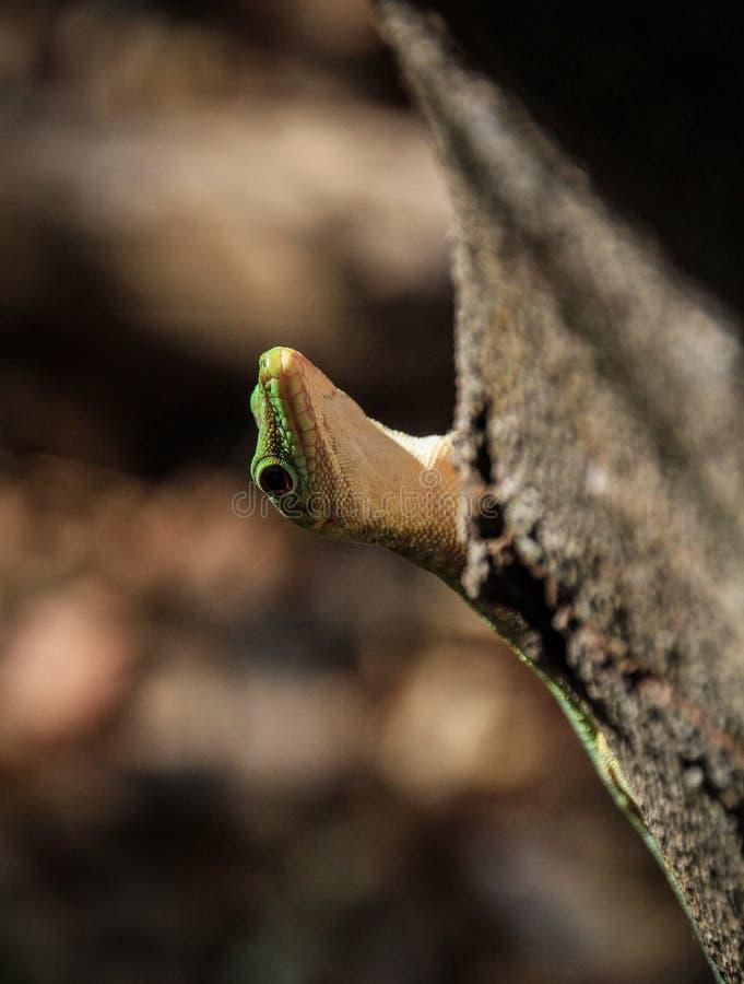 Het reuze Groene Gekko verbergen achter een boom, Kirindy-bos, Morondava, Madagascar royalty-vrije stock foto