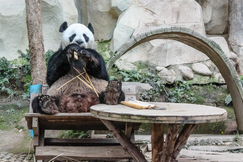 Het reuze panda eten stock afbeelding