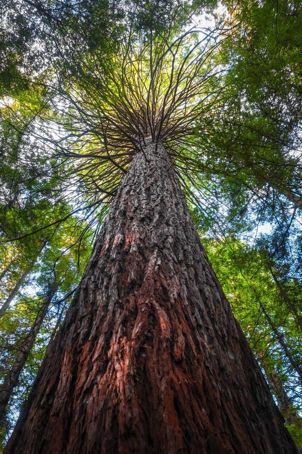 Het reuzebos van de Sequoiacalifornische sequoia, Rotorua, Nieuw Zeeland stock afbeelding