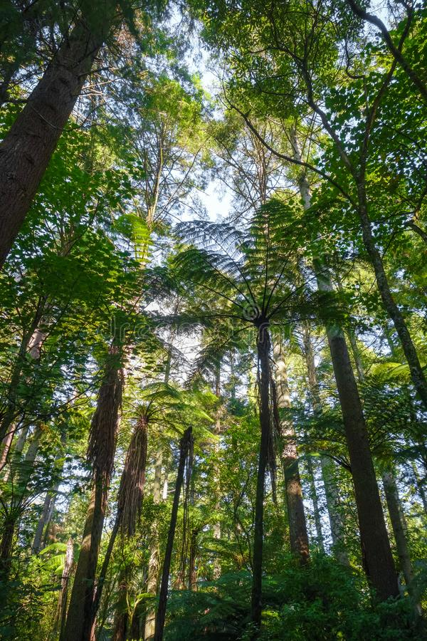Het reuzebos van de Sequoiacalifornische sequoia, Rotorua, Nieuw Zeeland stock fotografie