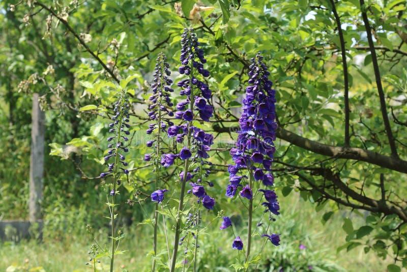 Het ridderspoor is een eeuwigdurende bloem in de tuin royalty-vrije stock afbeelding