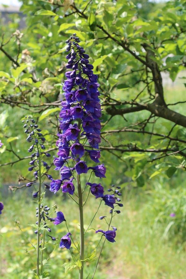Het ridderspoor is een eeuwigdurende bloem in de tuin stock foto