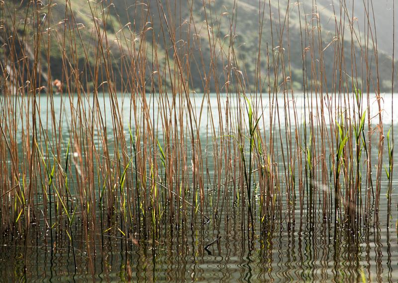 Het riet groeide in het meer royalty-vrije stock fotografie