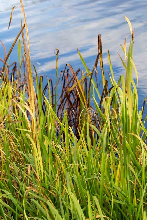 Het riet groeit op een vijver in de herfst royalty-vrije stock afbeeldingen