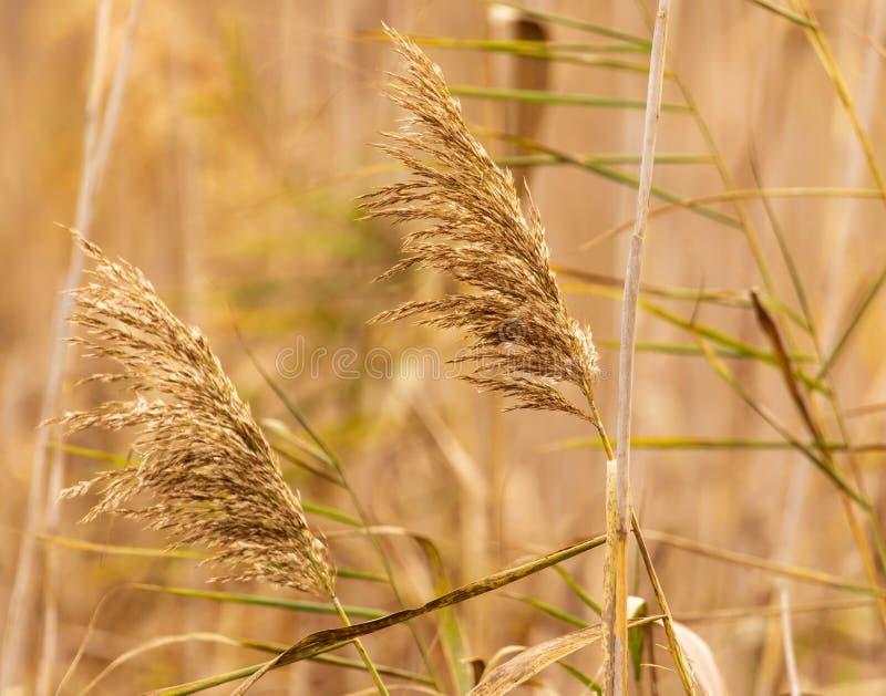 Het riet groeit op een vijver in de herfst stock fotografie