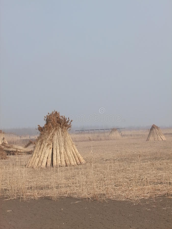 Het riet maait in moerasland stock afbeelding