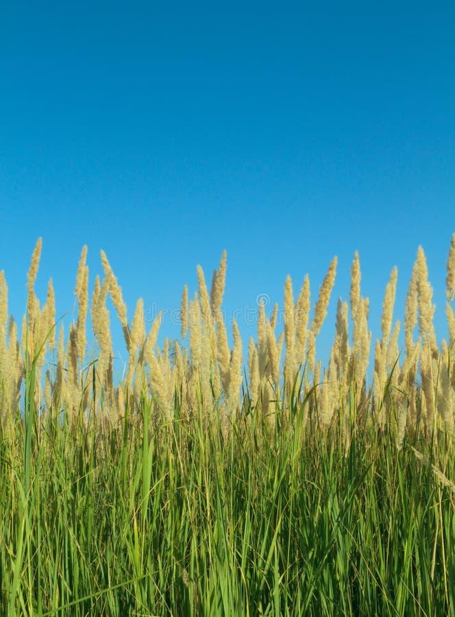 Het Riet van het gras stock foto's