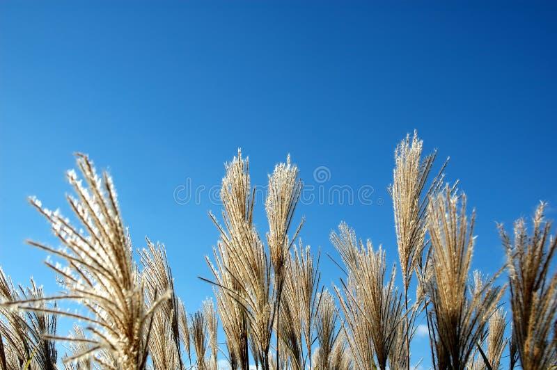 Het riet van het gras tegen een blauwe hemel. stock afbeeldingen