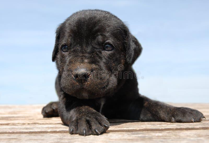 Het rietcorso van het puppy royalty-vrije stock foto