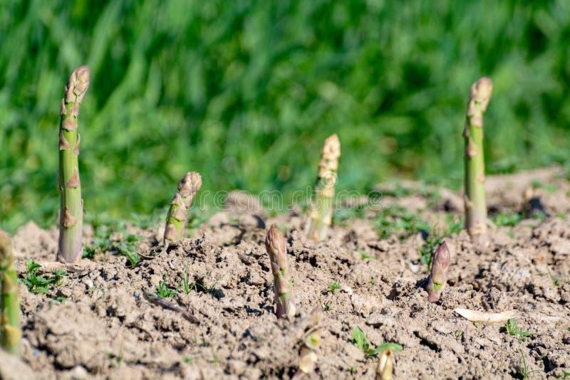 Het rijpe organische groene asperge groeien op landbouwersgebied klaar te oogsten stock afbeeldingen