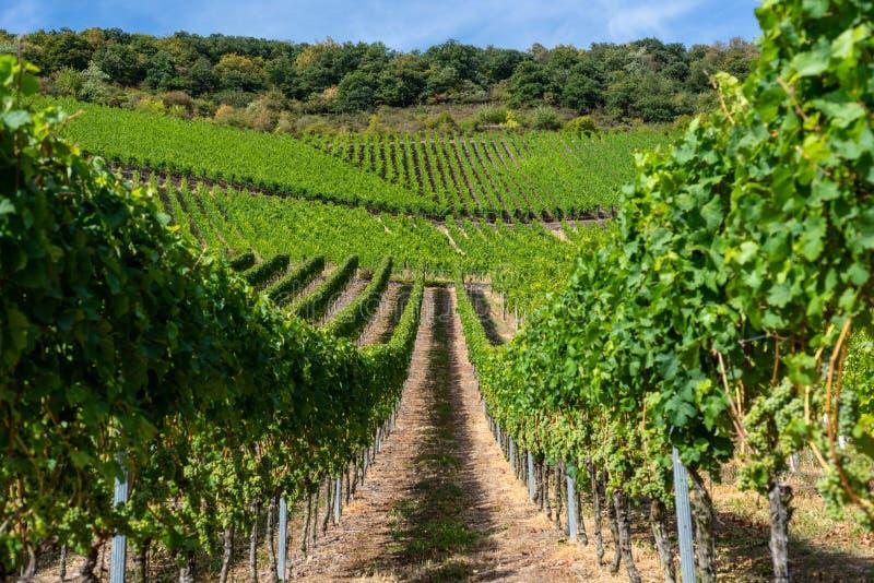 Het rijpen wit druivenclose-up op een wijnstokaanplanting op mooie heet, zonnig, de zomerdag in West-Duitsland royalty-vrije stock afbeeldingen