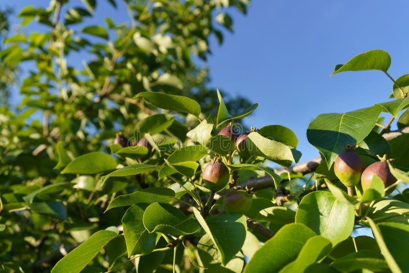 Het rijpende fruit van de perenboom in overvloedig groen gebladerte tegen een blauwe hemel royalty-vrije stock foto's