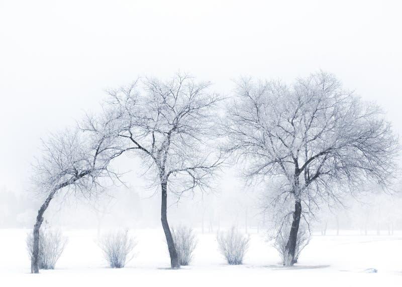 Het rillen bomen stock foto