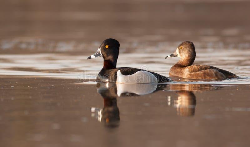 Het Ringneckpaar wordt weerspiegeld in de wateren van de Mississippi royalty-vrije stock fotografie