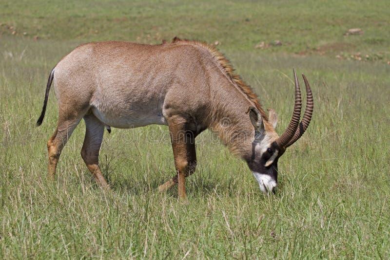 Het Roan antilope weiden in groene weide royalty-vrije stock foto's
