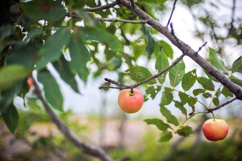 Het rode appel groeien op boom royalty-vrije stock foto