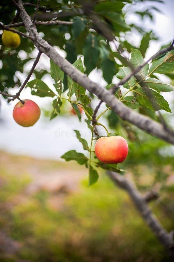 Het rode appel groeien op boom royalty-vrije stock fotografie