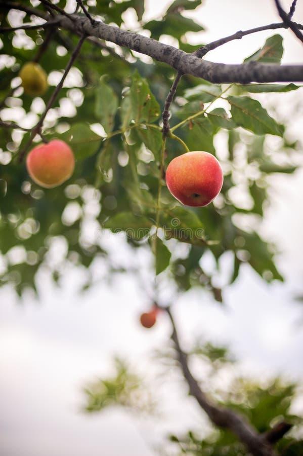 Het rode appel groeien op boom stock afbeeldingen