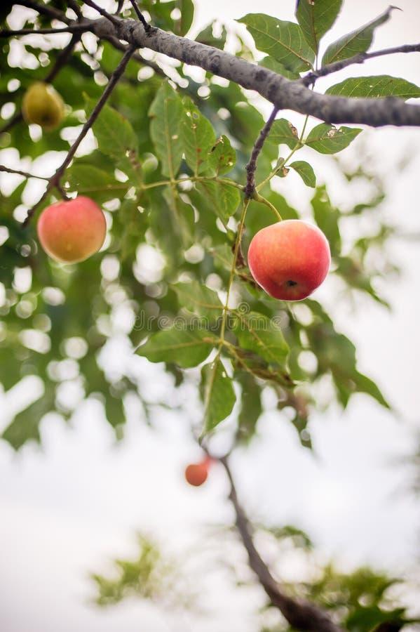 Het rode appel groeien op boom royalty-vrije stock foto's