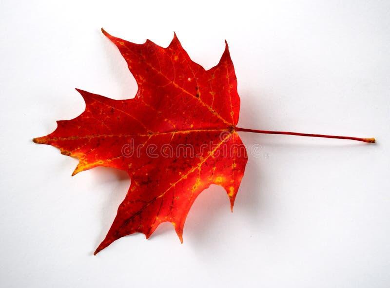 Het rode Blad van de Herfst royalty-vrije stock foto