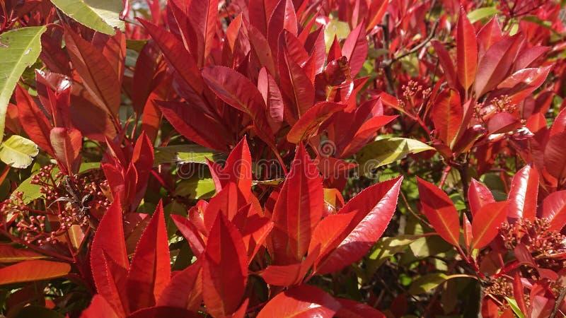 Het rode bladeren bloeien royalty-vrije stock afbeelding