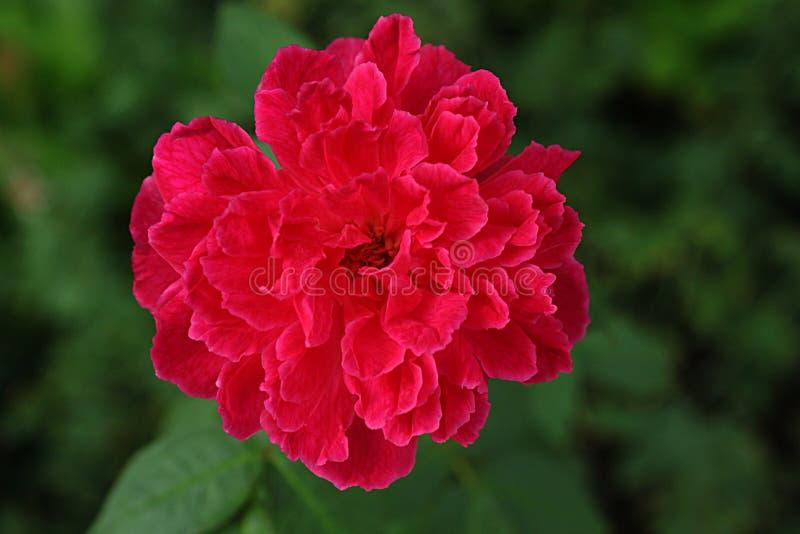 Het rode Damast nam bloem toe stock afbeelding
