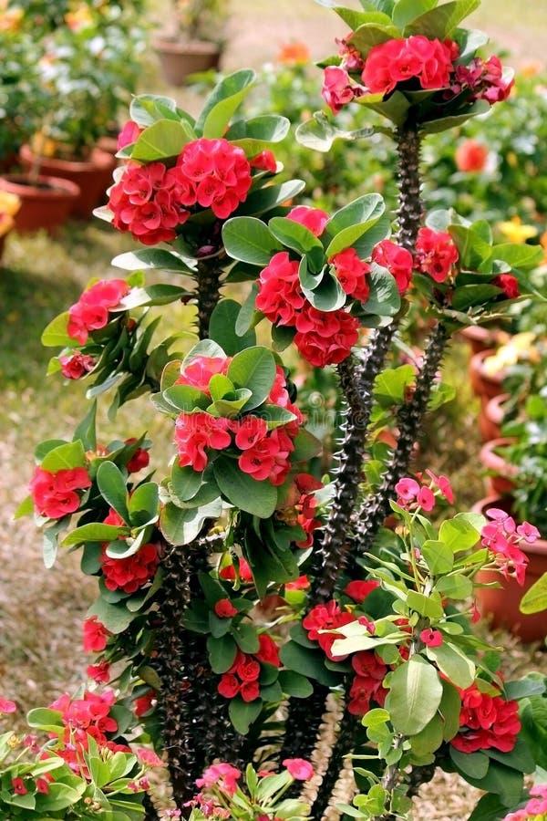 Het rode de Tuinbloemen van de Orchideelente bloeien stock afbeelding