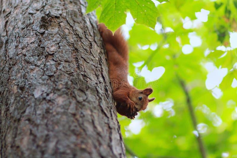 Het rode eekhoorn hangen op de boom die een okkernoot eten stock afbeelding