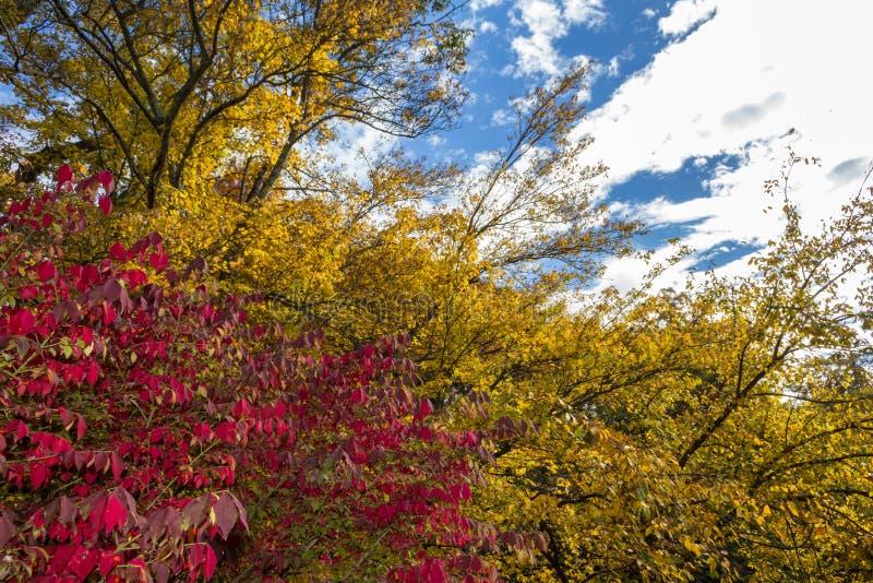 Het rode en Gele dalingsgebladerte vertakt zich agains een blauwe hemel stock foto