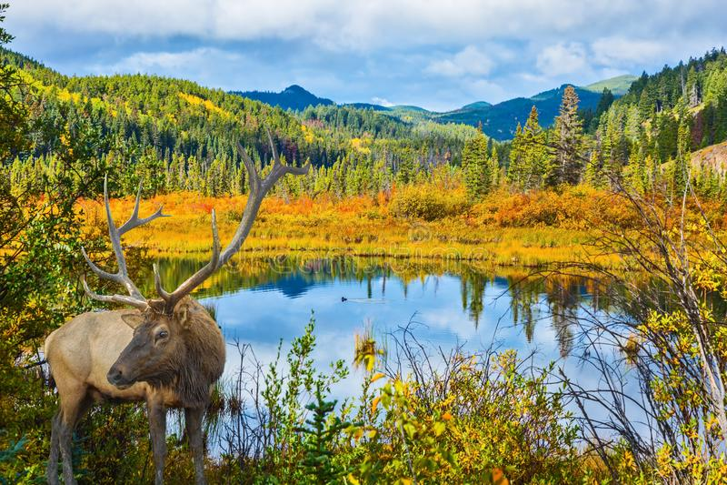 Het rode hert met hoornen heeft een rust stock foto's