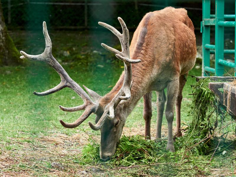 Het rode hert weidt op een groen gazon stock foto's