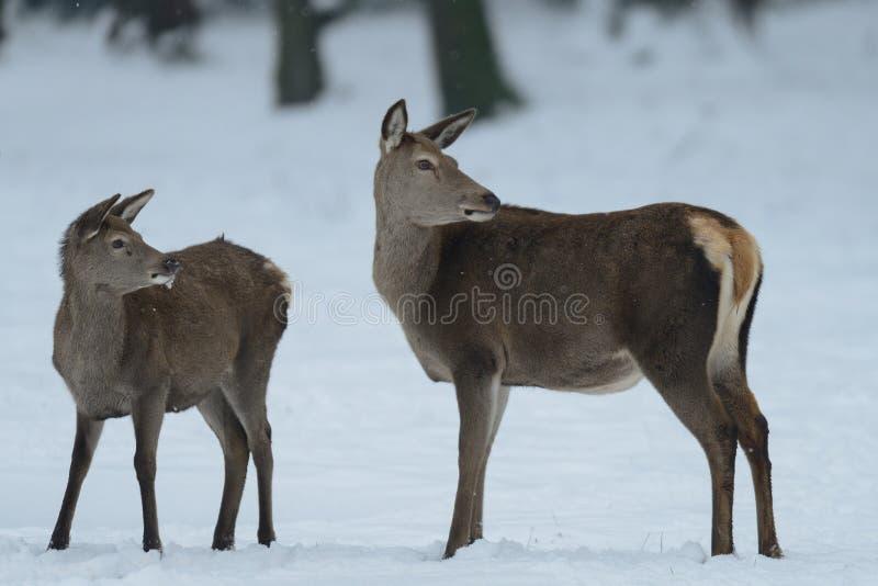 Het rode hertenwijfje die zich met kalf in het de winterbos bevinden en kijkt stock foto