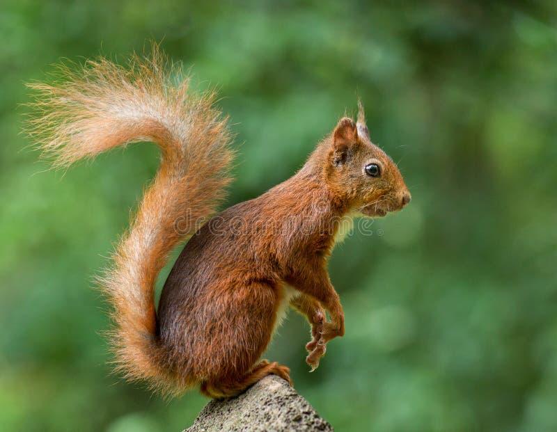 Het rode jonge eekhoorn stellen op een steen stock foto's
