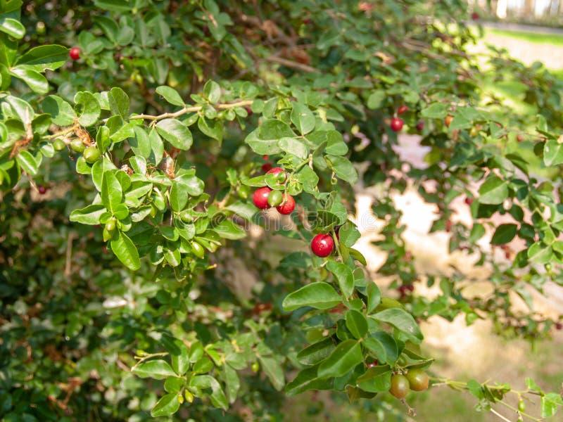 Het rode kant op de boom en de bladeren zijn vaag op de achtergrond stock foto