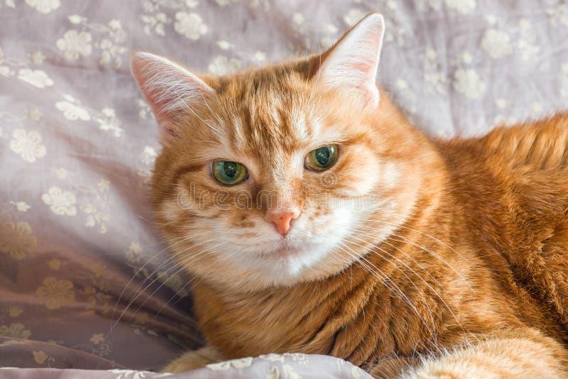Het rode kat liggen die op een deken rusten royalty-vrije stock afbeeldingen