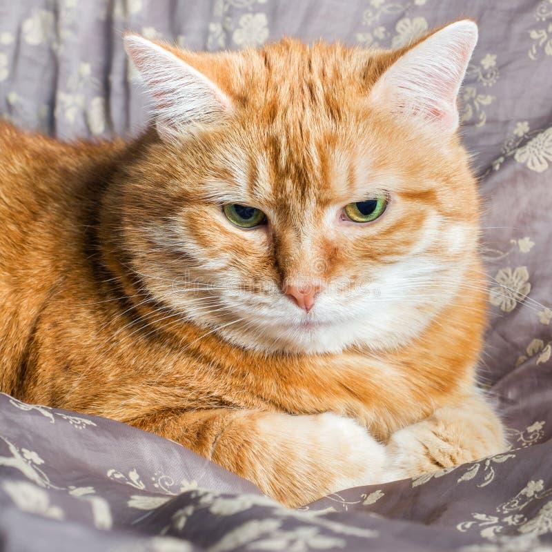 Het rode kat liggen die op een deken rusten royalty-vrije stock foto's