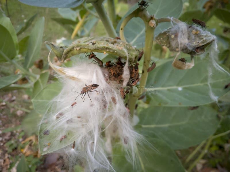 Het rode Katoenen Insect of het Katoenen Insect van Stainer eet bladeren en kroonbloemen royalty-vrije stock fotografie