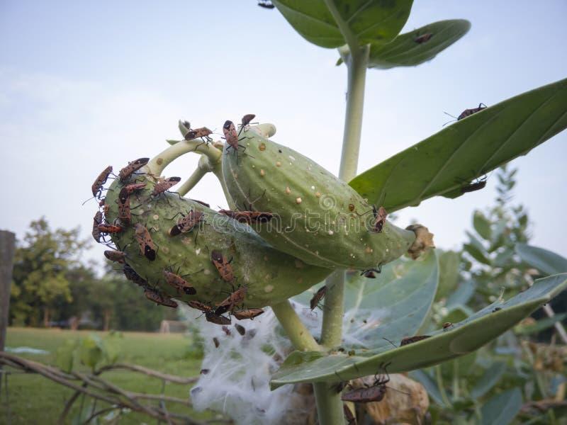 Het rode Katoenen Insect of het Katoenen Insect van Stainer eet bladeren en kroonbloemen in de tuin royalty-vrije stock afbeeldingen